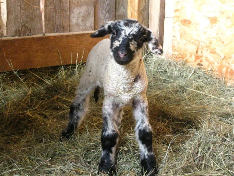 Sheep - (43)